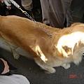 可愛的拉不拉多犬