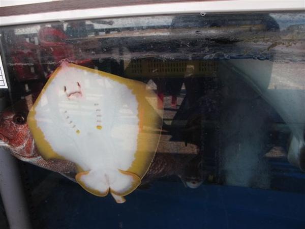 可愛的魟魚