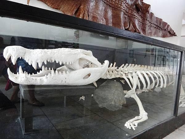 鱷魚骨頭.JPG
