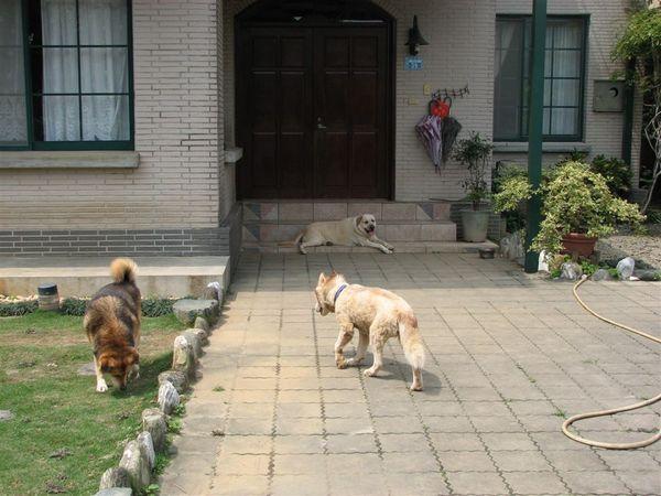 狗狗們在院子散步