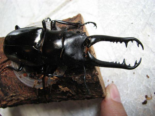 長頸鹿鍬形蟲