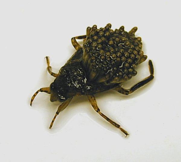 負子蟲.png