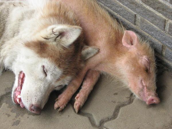 小豬--花生 最愛跟狗狗一起睡!