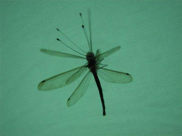 蝴蝶的觸角+蜻蜓的身體=長角蛉