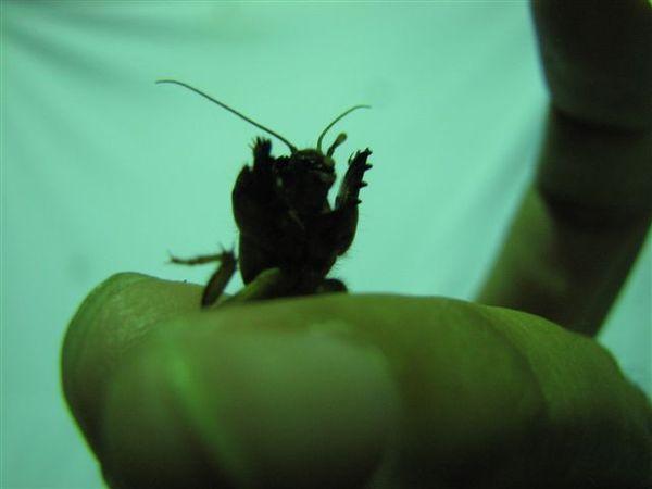 昆蟲土撥鼠-- 螻蛄