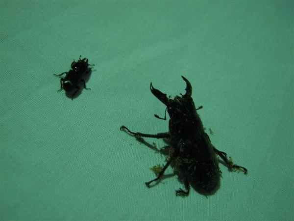 矮敲形蟲與扁鍬形蟲