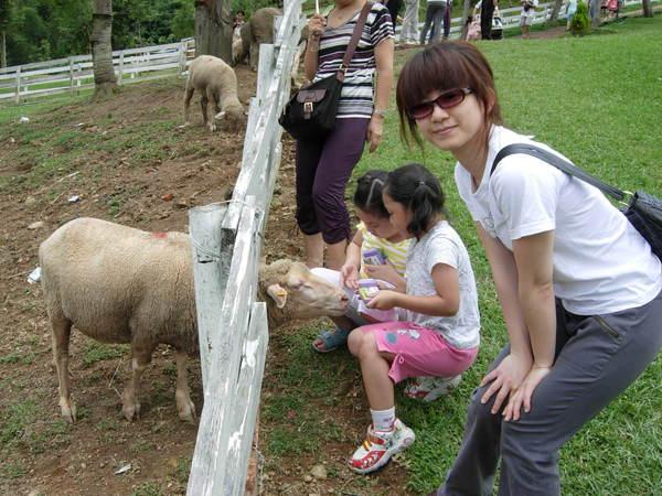 餵羊(上集)