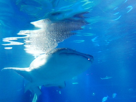 鯨鯊Whaleshark