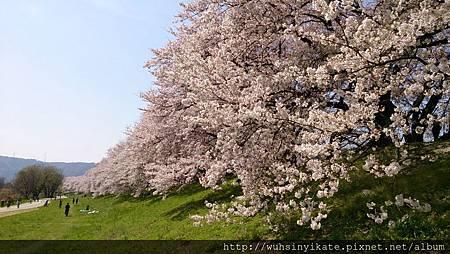 背割堤:櫻花隧道,幸運地4/5是晴朗好天氣,加上滿開到櫻吹雪的美景!