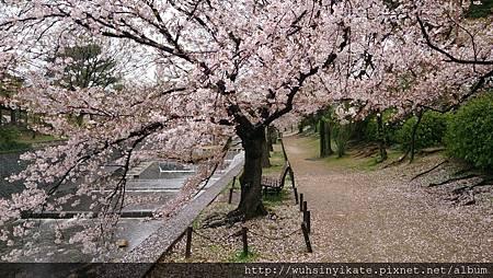 夙川公園:4/6風雨天,大多數滿開染井吉野櫻都被打落了~