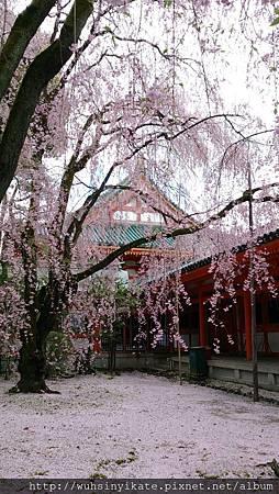 平安神宮:紅枝垂櫻雖已開始散落,仍舊美得不可方物