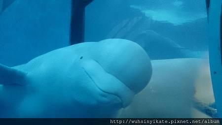 可愛白鯨三連拍之二