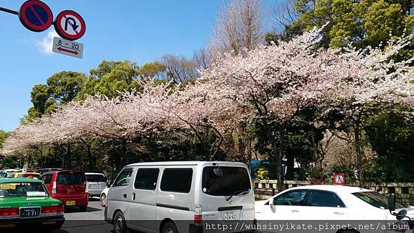 千鳥ヶ淵 車站出來兩旁道路就是滿開的櫻花