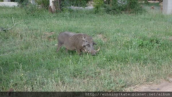 warthog 疣豬
