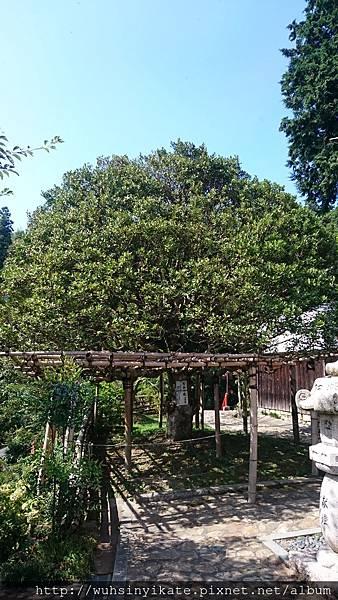 竹生島宝厳寺 もちの木