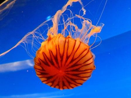 水母Jellyfish