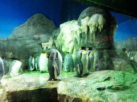 南極大陸 國王企鵝