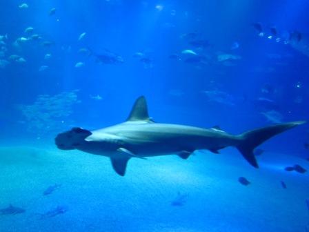槌頭鯊Hammerhead Shark
