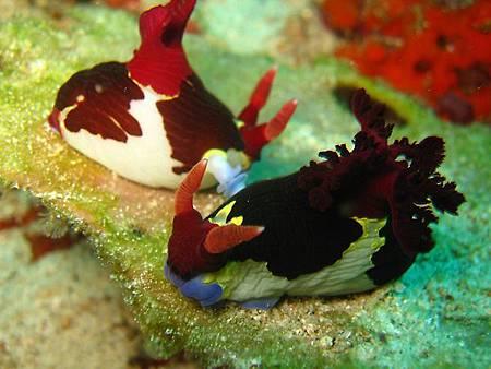 兩隻正在好事的海蛞蝓nudibranch