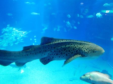 豹紋鯊Zebra shark