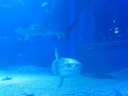 翻車魚(曼波魚) Mola mola