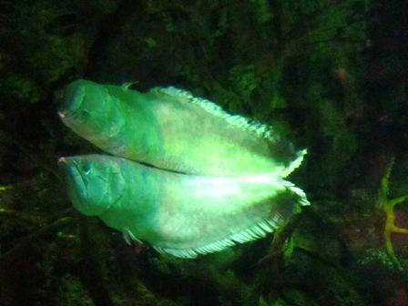 厄瓜多爾熱帶雨林 銀龍魚