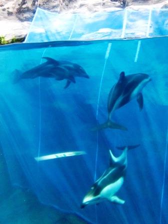 塔斯曼海 斑紋海豚