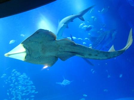 犁頭鰩Guitarfish