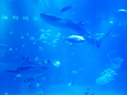 鯨鯊Whaleshark兩隻