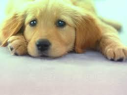 寵物 狗 傷心