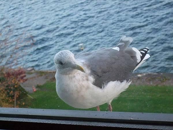 2008-10-25-469第四天早上房外海鷗.jpg