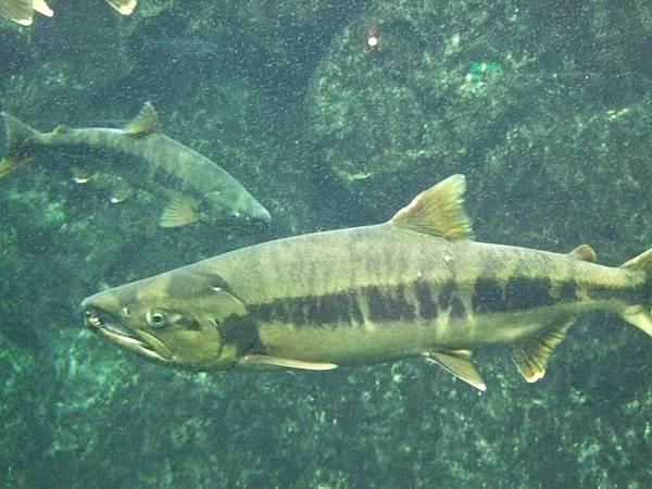 2008-10-26-800鮭魚館.jpg