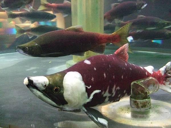 2008-10-26-815鮭魚館.jpg