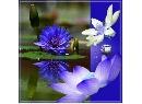 蓮花紫白.jpg