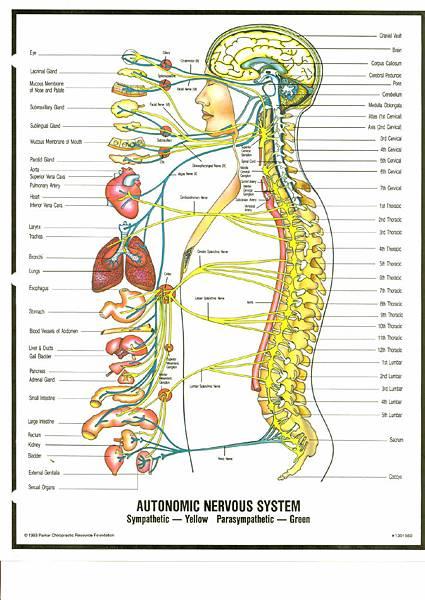 脊椎側面暨神經對應內臟圖.jpg