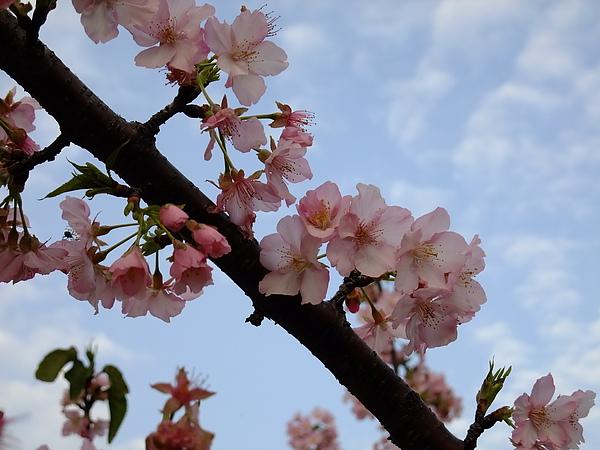 天空下的櫻