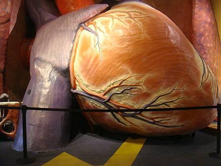 全世界最大的心臟