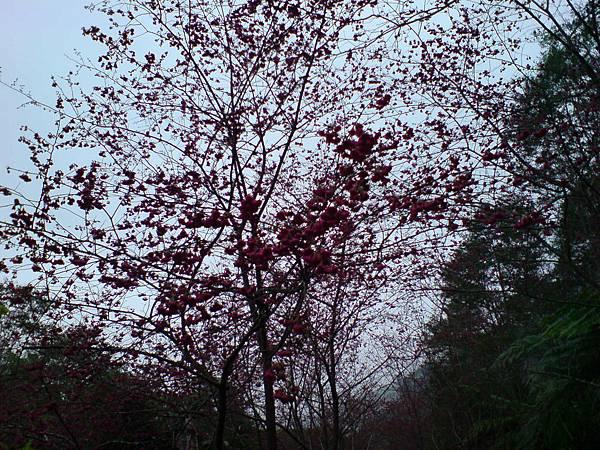2011.2.5 金針山上的櫻花