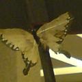 傳說中的黃金地獄蝶
