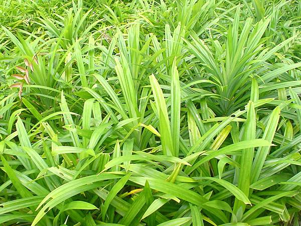 Pandan_(screwpine)_leaves.JPG
