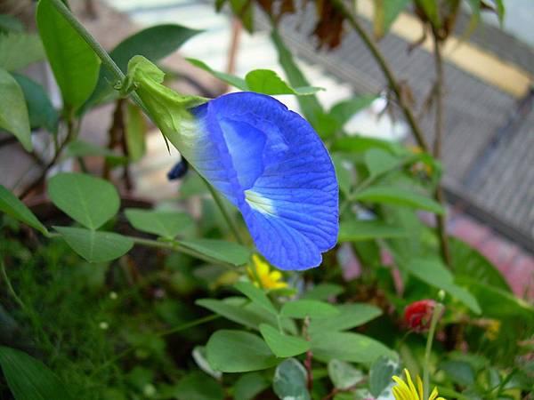 蝶豆20120412 (5)