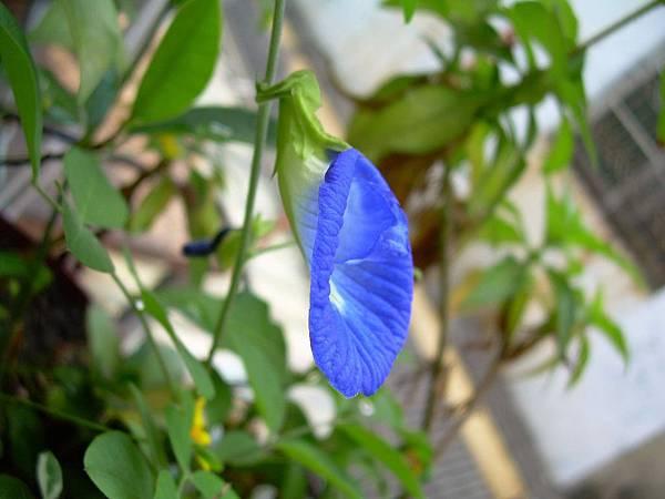 蝶豆20120412 (6)