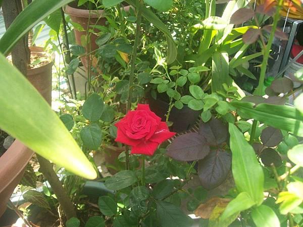 今天紅玫瑰又開了一朵20120630 (5).JPG