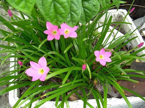 20120723蔥蘭跟韭蘭看葉,像蔥的是蔥蘭,像韭菜的是韭蘭。