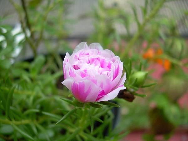 20120728松葉牡丹 (2)