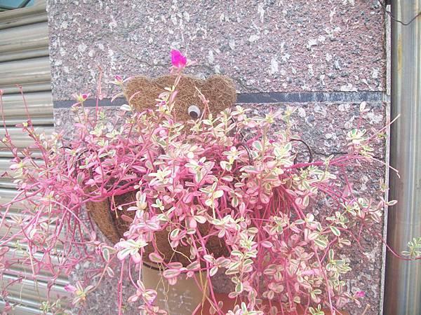 20120729彩虹馬齒莧 (20)