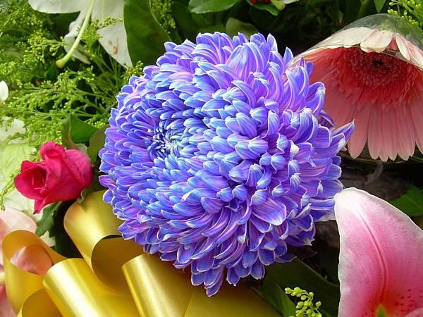 20120729牡丹菊 (3)