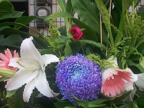 20120729牡丹菊 (4)
