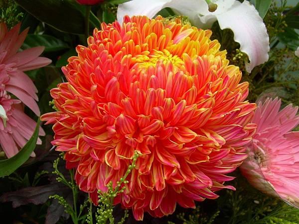 20120729牡丹菊 (11)