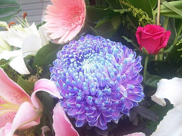20120729牡丹菊 (2)